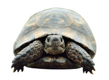 Tartaruga, foto isolada Tartaruga da parte dianteira Imagens de Stock Royalty Free