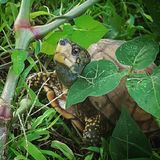 Tartaruga fotogênico Fotos de Stock Royalty Free