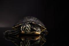 Tartaruga gialla Fotografie Stock