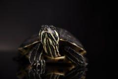 Tartaruga gialla Immagine Stock Libera da Diritti
