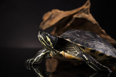 Tartaruga gialla Fotografia Stock