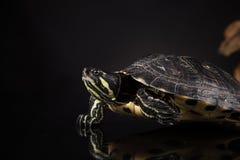 Tartaruga gialla Immagini Stock Libere da Diritti
