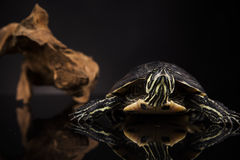 Tartaruga gialla Immagini Stock