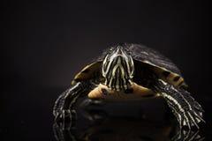 Tartaruga gialla Fotografie Stock Libere da Diritti