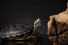 Tartaruga gialla Fotografia Stock Libera da Diritti