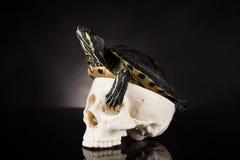 Tartaruga gialla su fondo nero Fotografia Stock