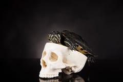 Tartaruga gialla su fondo nero Fotografie Stock
