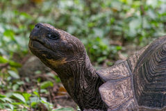 Tartaruga gigante #3 Fotos de Stock