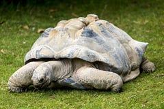 Tartaruga gigante imagem de stock