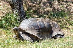 Tartaruga gigante Foto de Stock