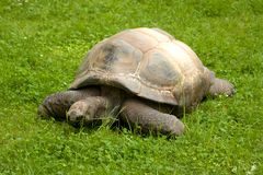 Tartaruga gigante Fotografia de Stock Royalty Free