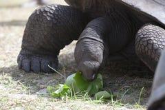 Tartaruga gigante all'isola di Curieuse che mangia le foglie verdi Fotografia Stock Libera da Diritti