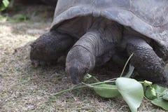 Tartaruga gigante all'isola di Curieuse che mangia le foglie verdi Immagine Stock