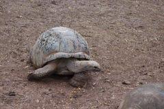 Tartaruga gigante alle Mauritius Immagini Stock Libere da Diritti
