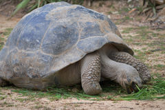 Tartaruga gigante che mangia erba Immagini Stock Libere da Diritti