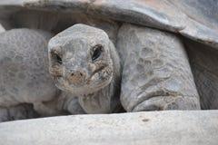 Tartaruga gigante da terra Imagem de Stock Royalty Free