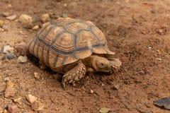 A tartaruga gigante de Aldabra é uma espécie gigante de tartaruga Fotografia de Stock