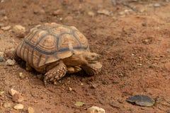 A tartaruga gigante de Aldabra é uma espécie gigante de tartaruga Fotos de Stock