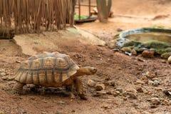 A tartaruga gigante de Aldabra é uma espécie gigante de tartaruga Imagens de Stock