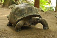 Tartaruga gigante de Aldabra foto de stock royalty free