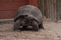 Tartaruga gigante de Aldabra que olha à direita foto de stock royalty free
