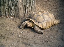 Tartaruga gigante de Galápagos (negro do Geochelone) Foto de Stock