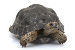 Tartaruga gigante de Galápagos Imagem de Stock Royalty Free