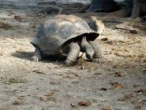 Tartaruga gigante delle Seychelles Fotografia Stock Libera da Diritti