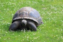 Tartaruga gigante di Aldabra Fotografia Stock Libera da Diritti