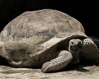 Tartaruga gigante di Aldabra Fotografie Stock Libere da Diritti