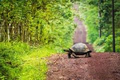 Tartaruga gigante di Galapagos che attraversa strada non asfaltata diritta Fotografia Stock Libera da Diritti