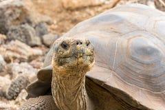 Tartaruga gigante Galápagos em Santa Cruz Island imagem de stock