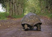 Tartaruga gigante, Galapagos Fotografie Stock Libere da Diritti