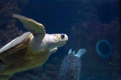 Tartaruga grande Fotos de Stock Royalty Free