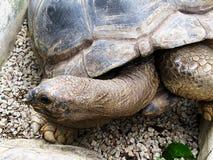 Tartaruga grande Fotografia de Stock Royalty Free
