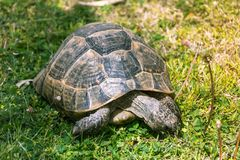 A tartaruga grande come o close-up dos dentes-de-leão Fotografia de Stock
