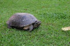 Tartaruga grande na grama verde foto de stock royalty free