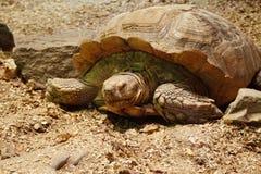 Tartaruga grande no jardim zoológico Fotos de Stock Royalty Free