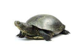 tartaruga Grande-orelhuda Fotografia de Stock Royalty Free