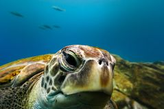 Tartaruga grande que flutua na água azul profunda do oceano fotografia de stock