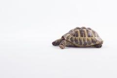 Tartaruga greca della terra, testudo Hermanni, fondo bianco dello studio Immagine Stock