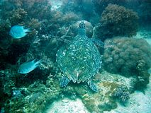 Tartaruga II Imagem de Stock Royalty Free