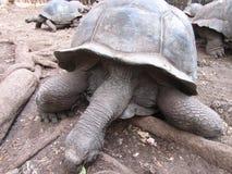 Tartaruga invecchiata Immagine Stock Libera da Diritti