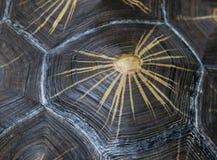 Tartaruga irradiada Shell Close-Up imagem de stock royalty free