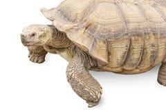 Tartaruga isolata come metafora per la gestione di tempo e di lentezza immagini stock