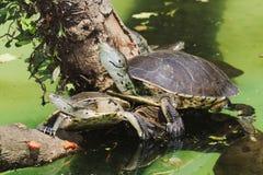Tartaruga Lado-necked de Hilário Fotografia de Stock