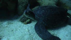 Tartaruga liuto vicino all'isola di Galapagos archivi video