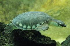 tartaruga Maiale-cappottata fotografie stock