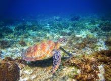 Tartaruga marina in acqua di mare Primo piano marino della tartaruga di mare verde Fauna selvatica tropicale della barriera coral Fotografia Stock Libera da Diritti