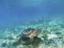 Tartaruga marina undersea Tartaruga verde nell'ambiente naturale Immagine Stock Libera da Diritti